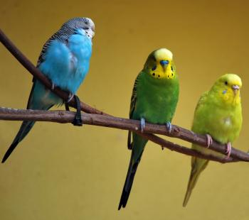 Green and blue parakeets