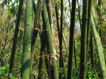 Green Bamboo Grove