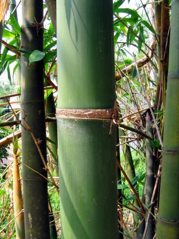 Green Bamboo Tree Detail