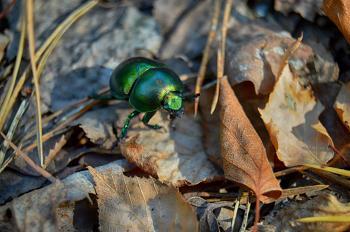 Green dor-beetle on fallen leaves