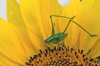 Green Grasshopper on Yellow and Black Flower