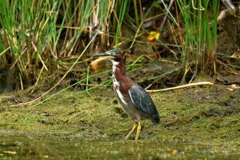 Green Heron (Butorides virescens) at Little Seneca Lake , Boyds Maryland