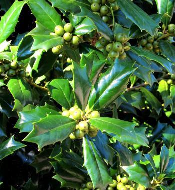 Green Holly