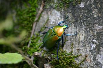 Green June Beetle on Tree Bark With Green Mosh in Closeup Photo