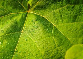 Green Leaves closeup
