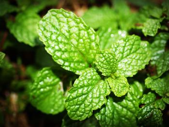 Green Mint Photo