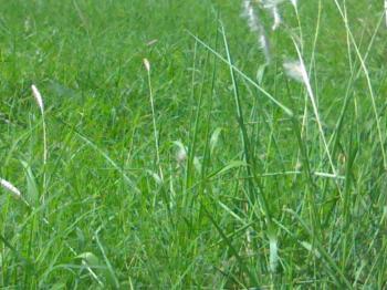 Green Rain Grass