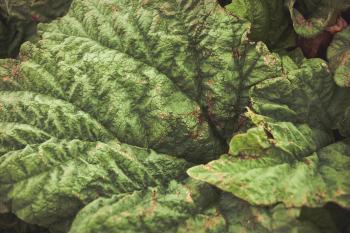 Green Rhubarb Leaf