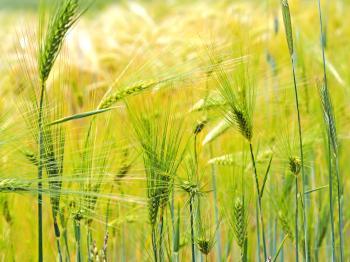 Green Straws in Field