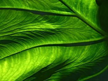 Green veins