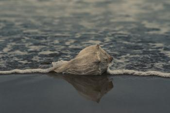 Grey Conch Shell on Shore