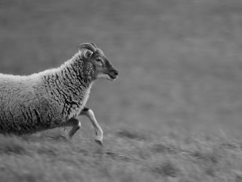 Grey Scale Photo of a Sheep Running in the Field during Daytime