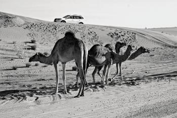 Grey Scale Photography of Three Camels on Desert
