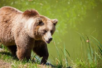 Grizzly Bear Walking Beside Pond