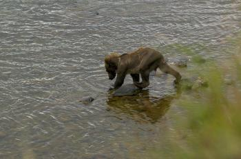 Grizzly in the River