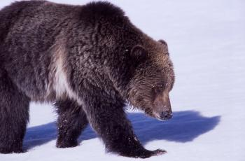 Grizzly in Winter