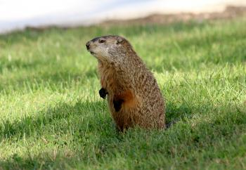 Ground Hog Standing Up