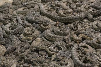 Group of Rattlesnakes