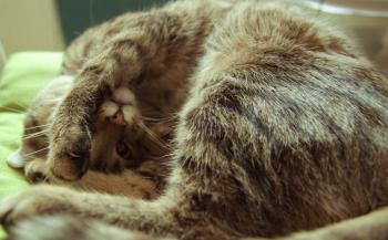 Grumpy cat with paw on head