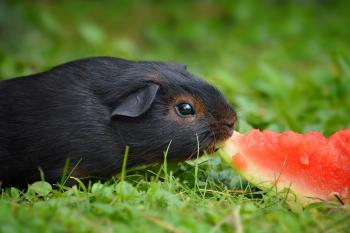 Guinea eating watermelon