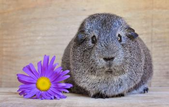 Guinea n Flower