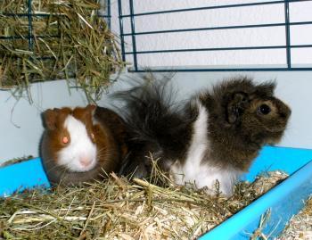 Guinea pig update!