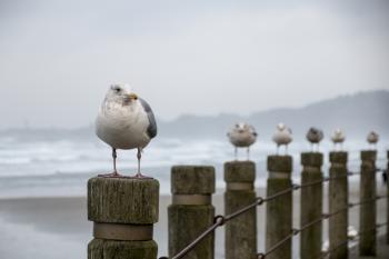 Gulls at Nye Beach, Oregon