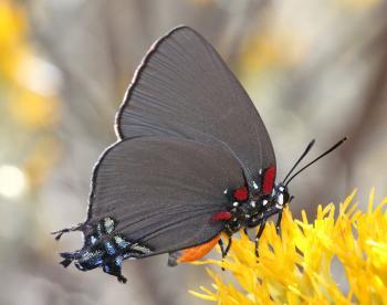 HAIRSTREAK, GREAT BLUE (Atlides halesus) (10-22-13) fem, harshaw road rabbitbrush, patagonia mts, scc, az