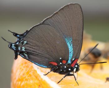 HAIRSTREAK, GREAT PURPLE (Atlides halesus) (9-2-12) 78 circulo montana, patagonia lake ranch estates, scc, az -01b