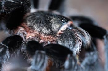 Hairy Spider Close-up