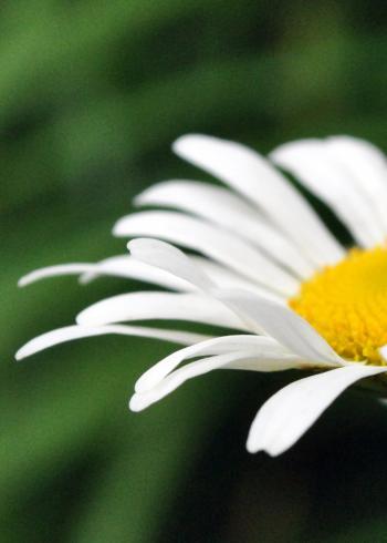 Half a Daisy
