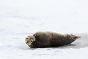 Young Harp Seal