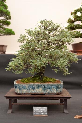 Hawaiin rose or hawthorn bonsai