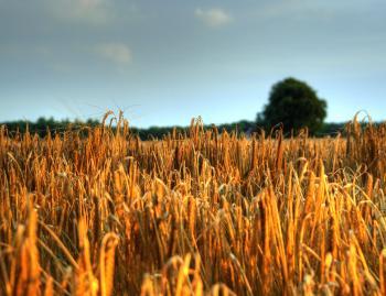 HDR foto met graan