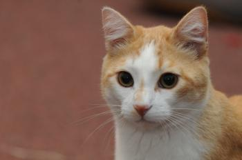 Headshot of orange cat with white face