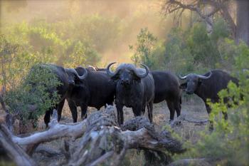 Herd of Black Water Buffaloes