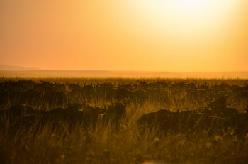 Herd of Buffalo during Sunset