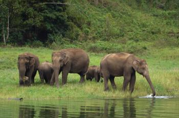 Herd of thirsty elephants