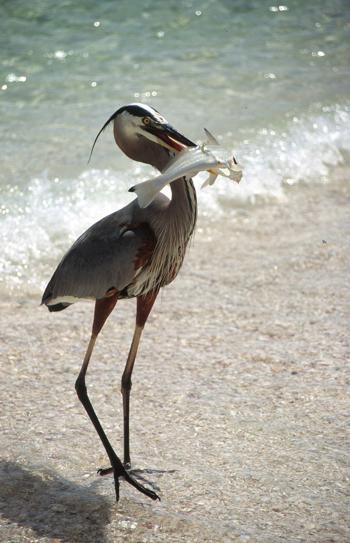 Heron at Turtle Beach Fla