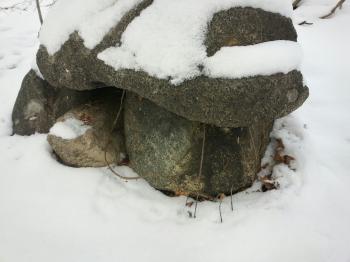 Heterobasidion annosum in snow
