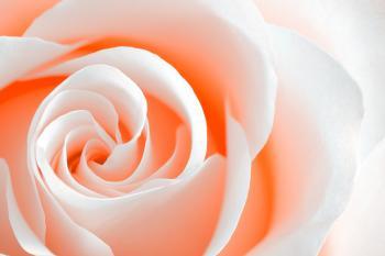 High Key Rose Macro