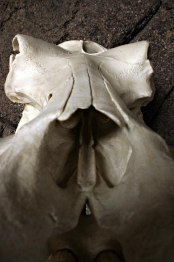 Hippo skull closeup