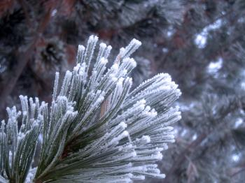 Hoarfrost on Pines