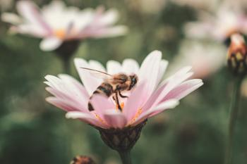 Honeybee on Pink Petaled Flower in Closeup Photo