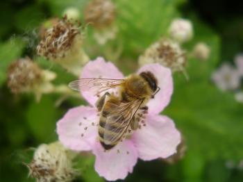 Honeybee Pollinating