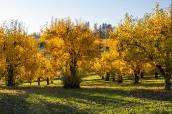 Hood River, Autumn Trees
