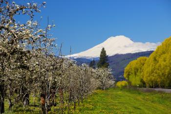 Hood River, Oregon, Orchard