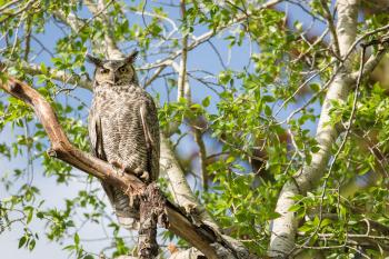 Horned Owl on the Branch