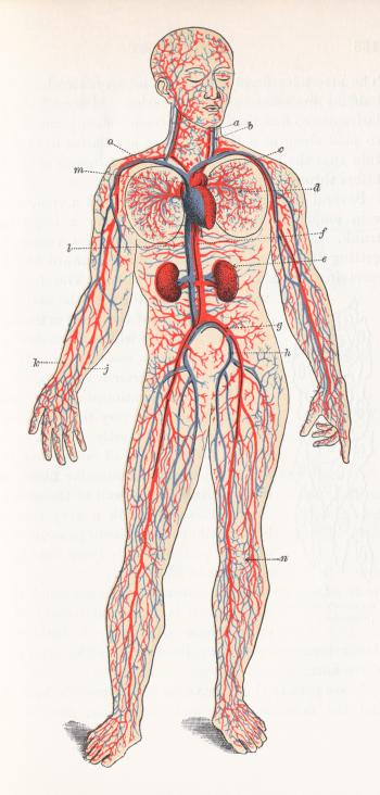 Human Blood Circulation, Circa 1911