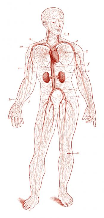 Human Blood Circulation, Circa 1911